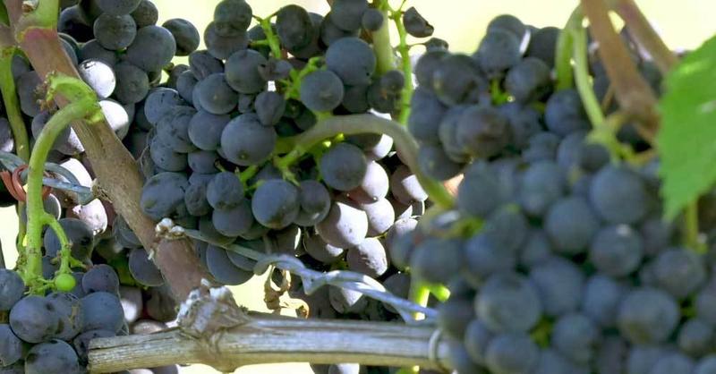 Wein, Reben, Trauben, © baden.fm (Symbolbild)