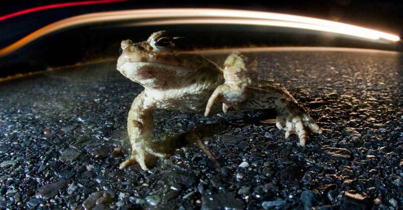 Krötenwanderung, Kröte, Frosch, © Patrick Pleul - dpa (Symbolbild)