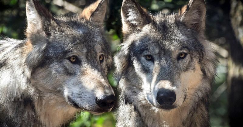 Symboldbild - pixabay Wolf, © Symboldbild - pixabay Wolf