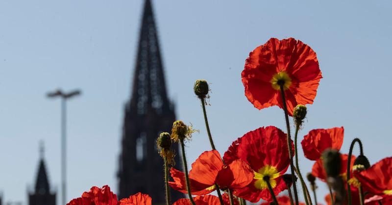 Mohn, Blüte, Blumen, Münster, Freiburg, © Patrick Seeger - dpa