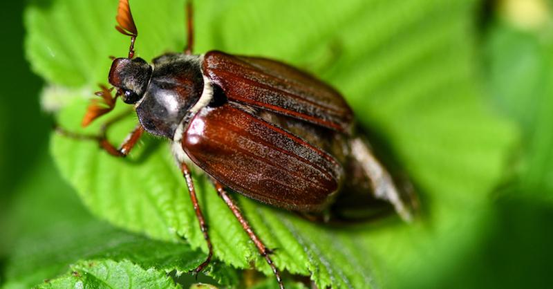 Maikäfer, Insekten, © Patrick Seeger - dpa