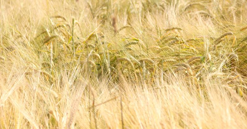 Getreide, Weizen, Landwirtschaft, © baden.fm (Symbolbild)