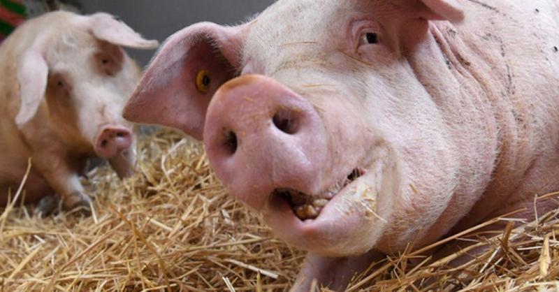 Schwein, Stall, Sau, © Marijan Murat - dpa