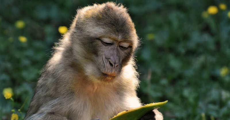 Affen, Berberaffen, Tierpark, Zoo, © Pixabay (Symbolbild)