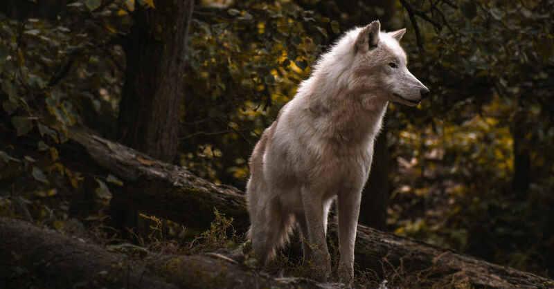 Wolf, Rudel, Schwarzwald, © Pixabay (Symbolbild)