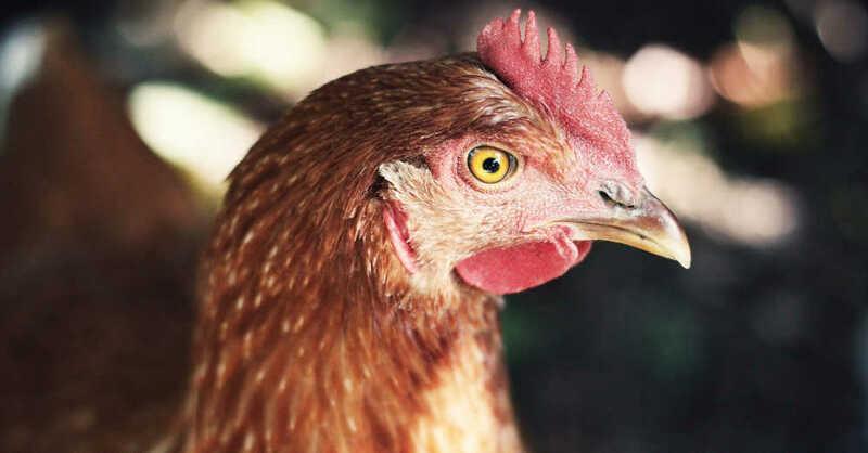 Huhn, Hühner, Geflügel, Nutztiere, Landwirtschaft, Tierhaltung, © Pixabay (Symbolbild)