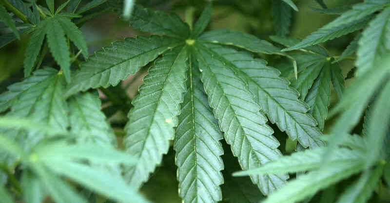 Hanf, Haschisch, Cannabis, Drogen, Gras, Plantage, THC, Sucht, © Oliver Berg - dpa (Symbolbild)