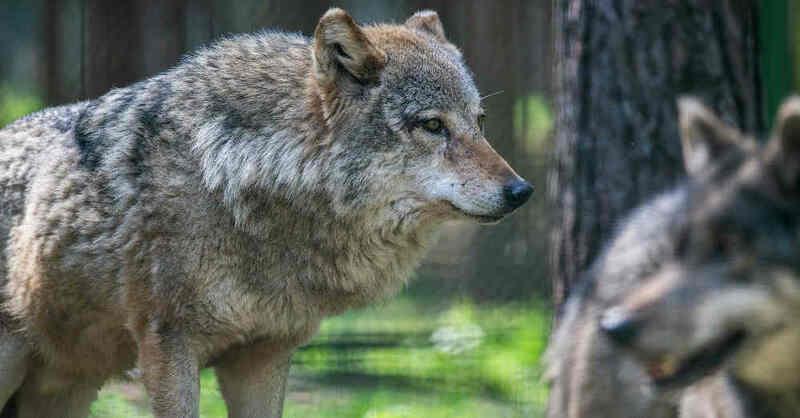 Wolfsrudel, Wölfe, Wolf, Tierpark, Tiergehege, © Pixabay (Symbolbild)