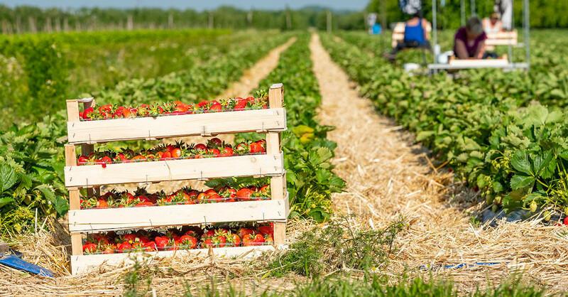 Erdbeerernte, Erdbeeren, Saisonarbeiter, Erntehelfer, © Obstgroßmarkt Mittelbaden (Symbolbild)