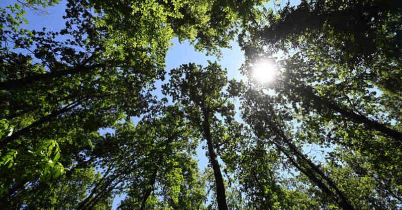 Sonne, Sommer, Frühling, Natur, Wald, Baumkronen, Baum, Bäume, © Uli Deck - dpa (Symbolbild)