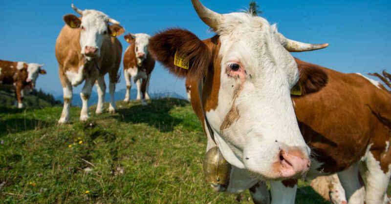Kuh, Rinder, Kühe, Weide, Landwirtschaft, © Lino Migeler - dpa (Symbolbild)