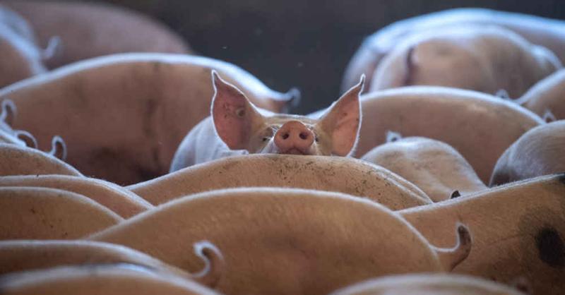 Massentierhaltung, Schweinezuchtbetrieb, Landwirtschaft, Stall, © Sina Schuldt - dpa