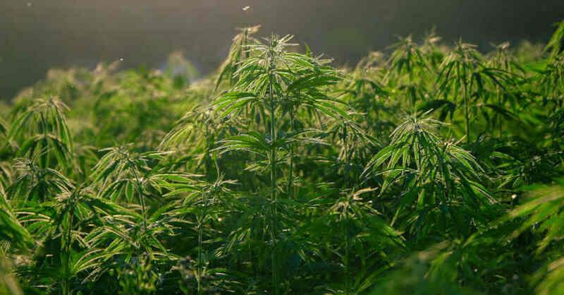 Hanf, Cannabis, Marihuana, Plantage, Drogen, © Pixabay (Symbolbild)
