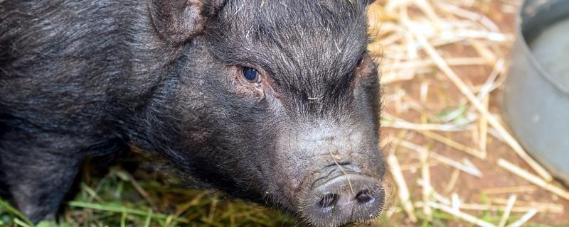 Minipig, Sau, Schwein, © Zoo Basel