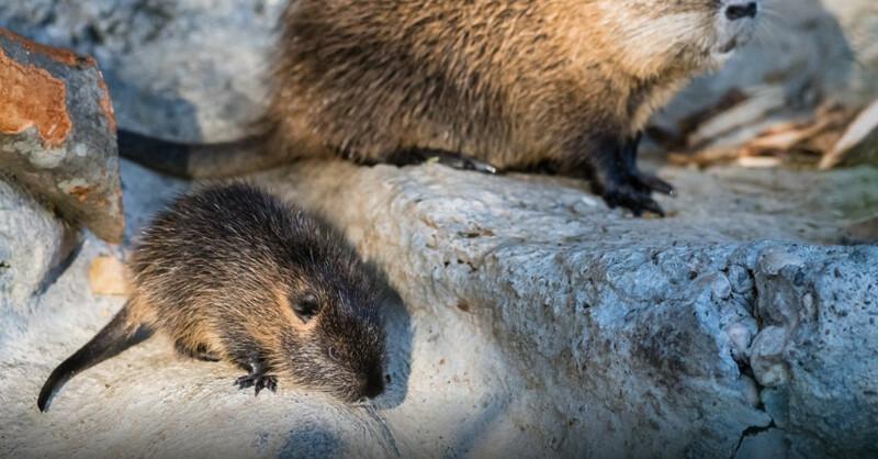 Biberratte, Nutria, Zoo Basel, © Zoo Basel