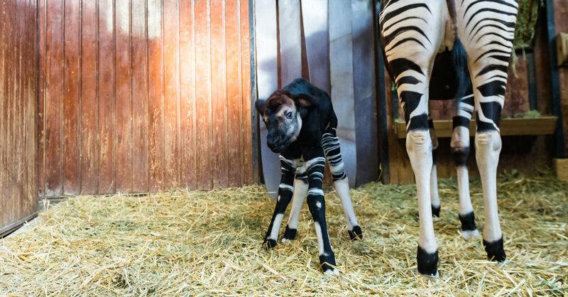 Okapi, Nachwuchs, Zoo Basel, © Zoo Basel
