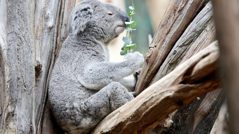 Koala Oobi Oooobi wird WM Orakel beim Fußball, © Jan Woitas